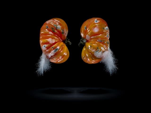 Zwei Tomaten, die stark verschimmelt sind, vor schwarzem Hintergrund.