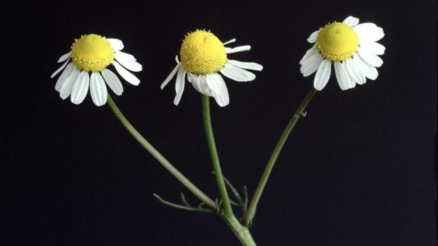 drei Kamillenblüten vor schwarzem Hintergrund