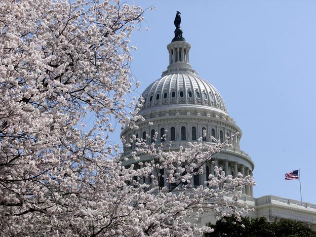 Hellrosa Kirschbäume vor dem U.S. Capitol Gebäude in Washington D.C.