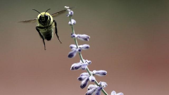 Western Bumblebee in Utah