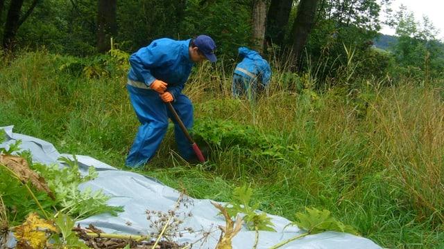Angehörige des Zivildienst stechen die unbeliebten Pflanzen aus dem Boden.