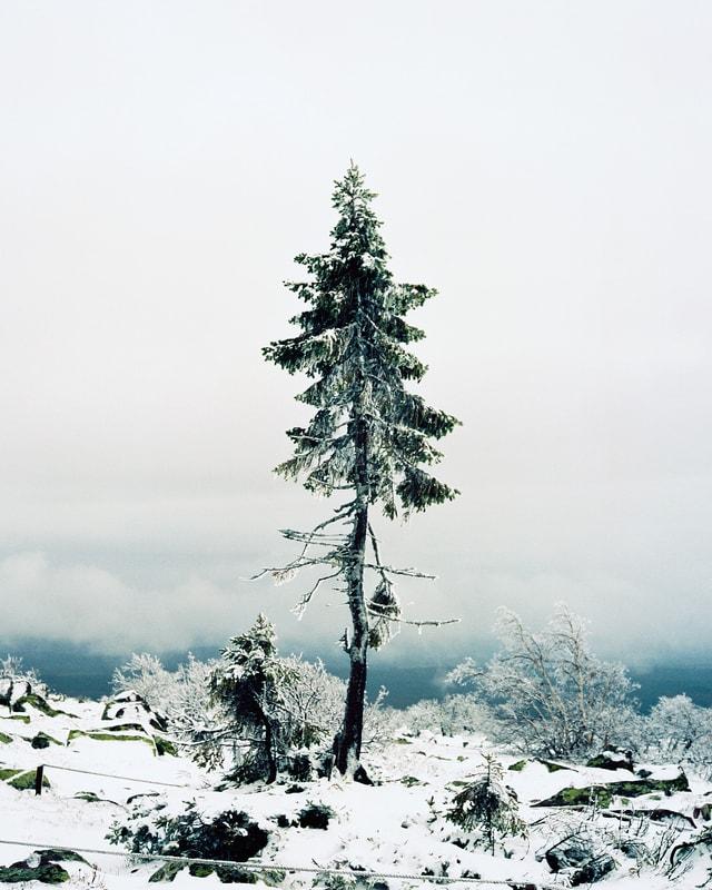 Hohe, dünne Tanne in verschneiter Landschaft