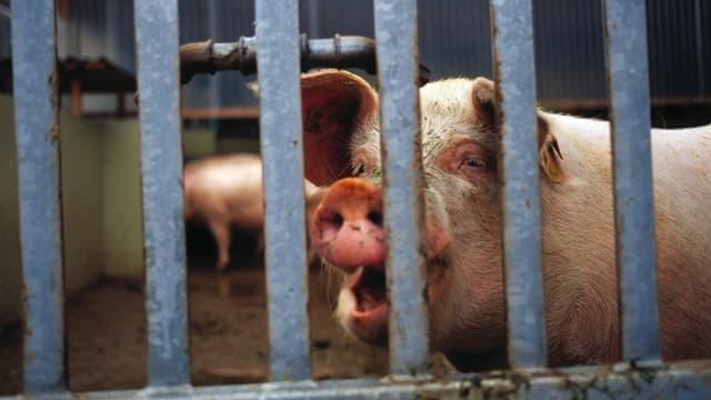 Ein Schwein in einem Stall, fotografiert durch dicke Gitterstäbe