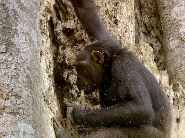 Ein Schimpanse leckt an einem Stock, mit dem er Bienenhonig unter einer Baumrinde geholt hat.