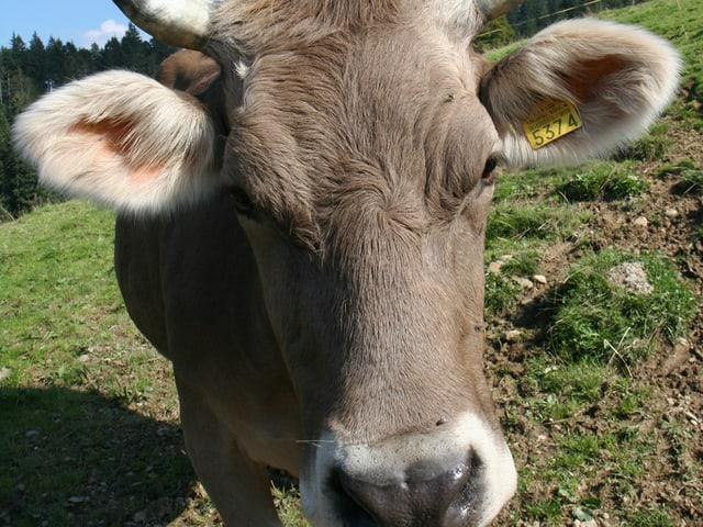 Wenn diese Kuh wüsste, was jetzt mit ihr geschieht.