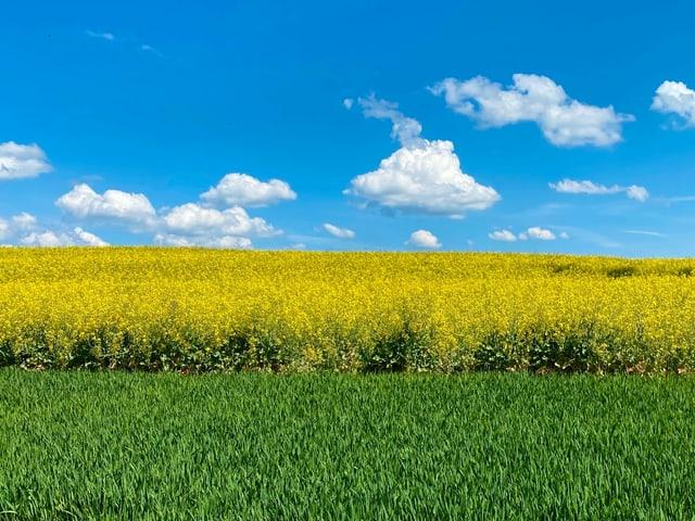 Einzelne Quellwolken über einem gelben Rapsfeld.