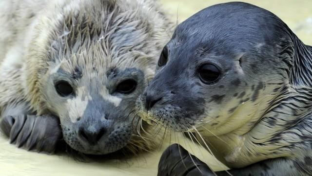 Zwei Robben am Meer.