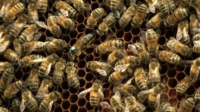 Eine dunkel gefärbte Bienenkönigin wird umringt von gelblich gefärbten Arbeiter-Bienen