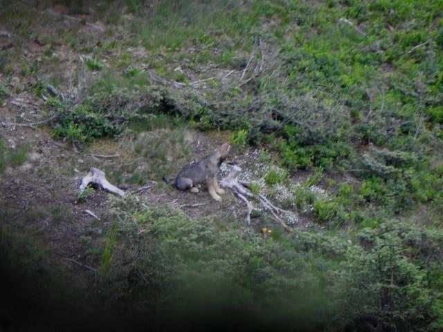 Jungwolf sitzt auf Waldboden