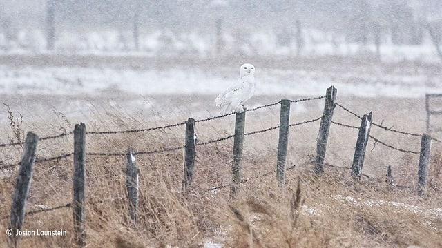 Eine Eule sitzt auf einem Zaun. Es schneit.