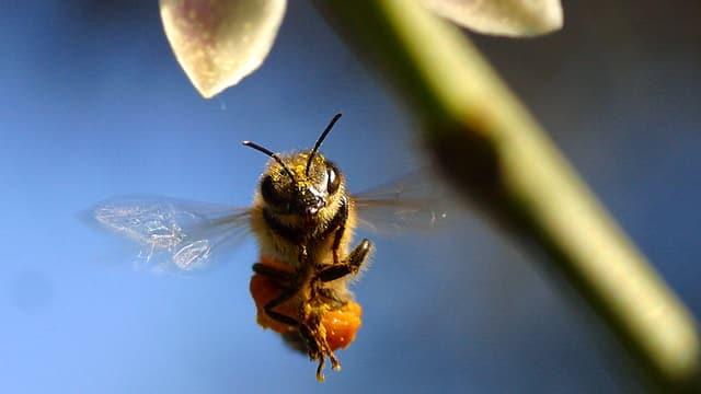 Eine Biene im Flug in Nahaufnahme.