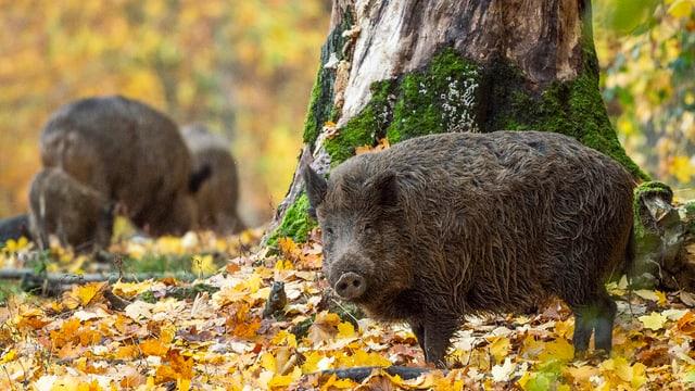 Ein Wildschwein blickt auf einer mit Laub bedeckten Wiese in die Kamera.