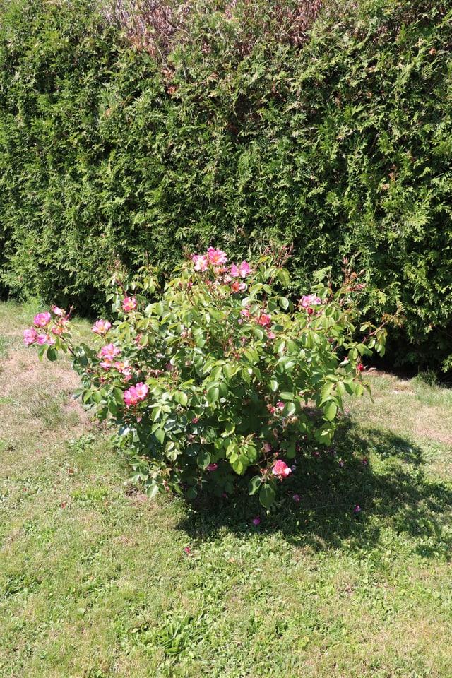 Rosenbusch mit kleinem Schatten.