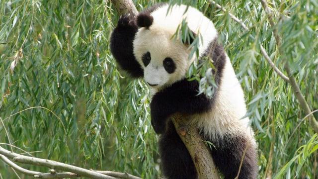 Ein Panda klettert in einem Baum.