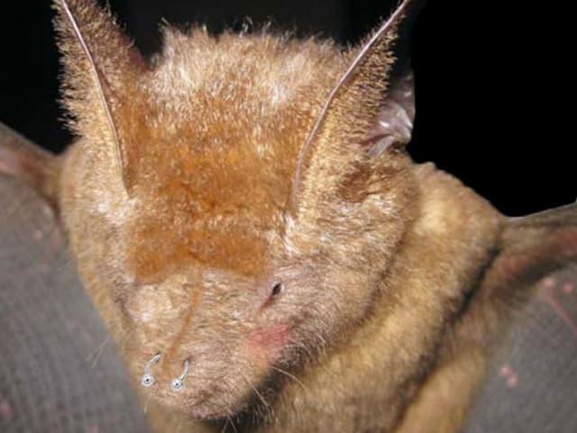 Schöner Griffin's Leaf-Nosed Bat