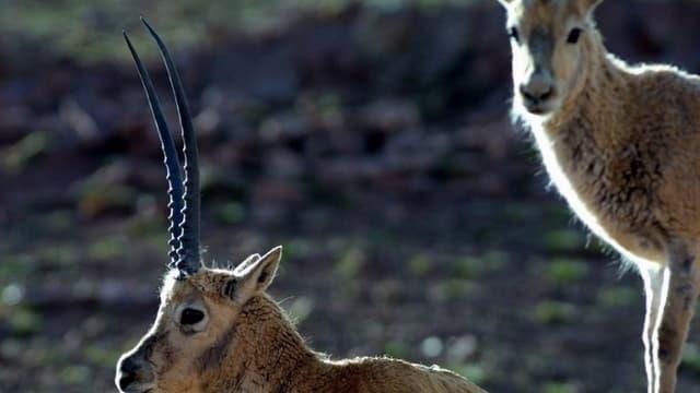 Antilopas tibetanas - periclitadas ma er tschertgadas per la launa.