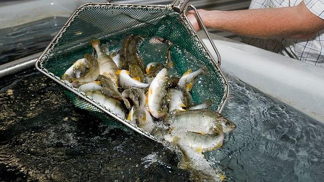 In um preschenta sia tratga da peschs.