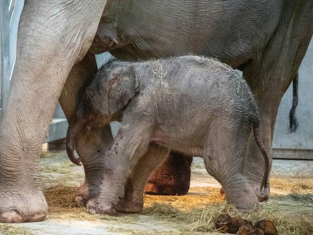 Das Elefantenbaby schmiegt sich an seine Mutter.
