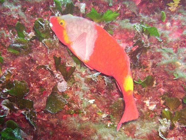 Ein Europäischer Papageifisch streift in einem Korallenriff umher und frisst Algen von seiner Oberfläche.