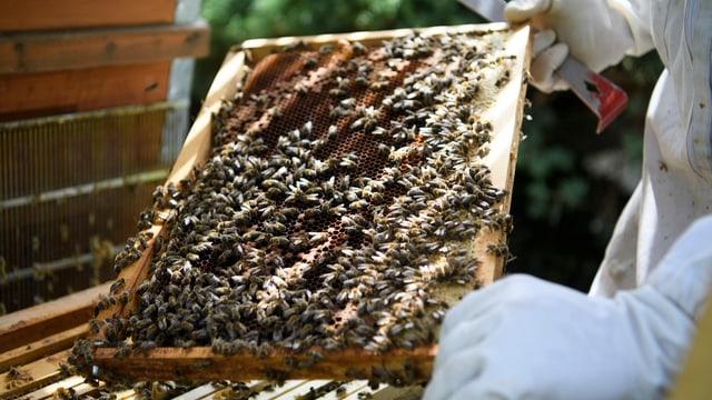 Bienenwabe mit Bienen.