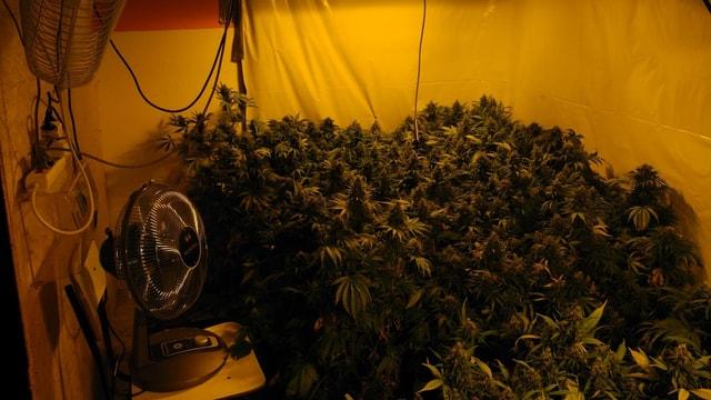 Indoor-Hanfpflanzen mit Ventilator