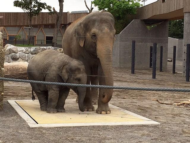 Zwei Elefanten stehen auf der Waage.