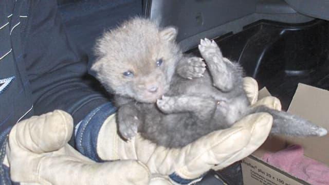 Ein drei Wochen alter Rotfuchs, der beim Wildhüter abgegeben wurde.