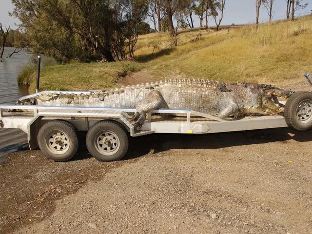 Das getötete Krokodil.