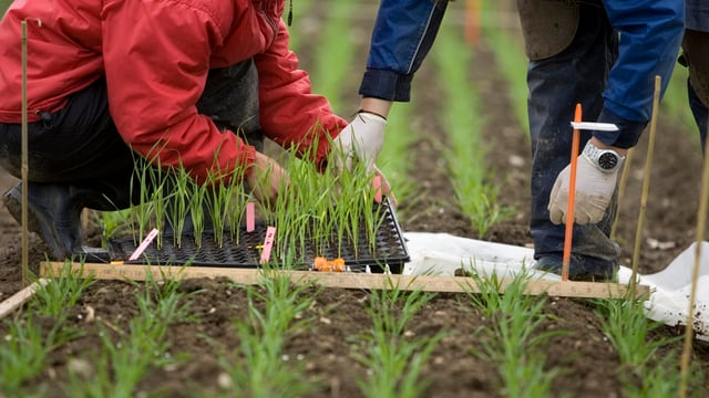 Anbauversuch von gentechnisch veränderten Pflanzen