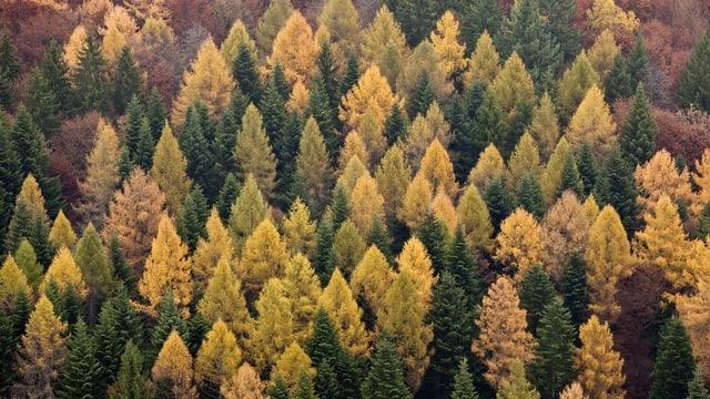 Aufsicht auf einen Tannenwald