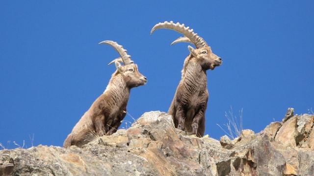 Zwei Steinböcke auf dem Gebirge