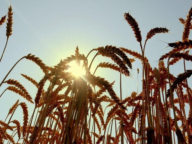 Weizenfeld vor der Sonne.