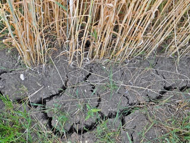 Trockener Boden, kaum grünes Gras, viele trockene Grashalme.