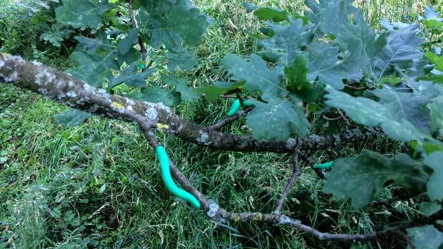 Grüne Raupen aus Knetmasse auf einem Ast einer Eiche.