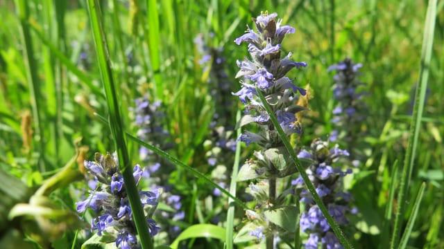 Die Pflanze mit violett-blauen, kleinen Blüten
