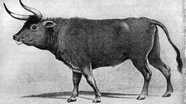 Zeichnung seitlich eines Tieres, das sowohl an eine Kuh als auch an einen Ochsen erinnert.