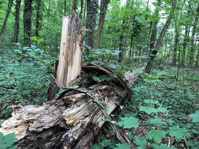 Ein toter Baum liegt im Wald