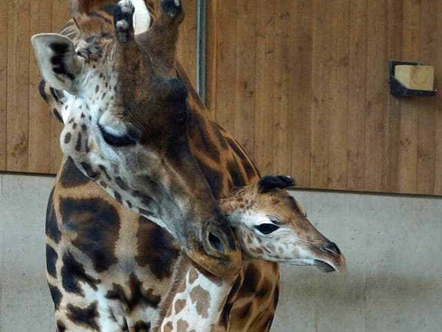 Giraffenbaby Kinderzoo