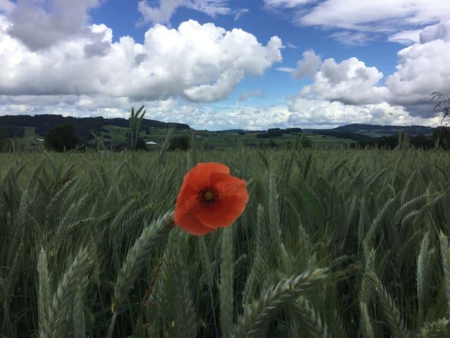 Rote Mohnblume im Weizenfeld. Dahginter Himmel mit weissen kleinen Quellwolken