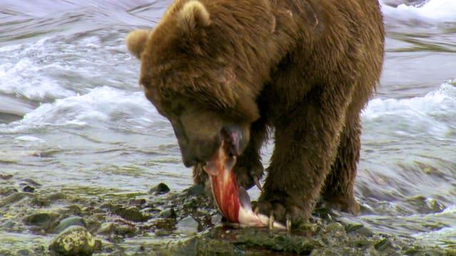 Ein Grizzly zerreisst einen Lachs am Flussufer.