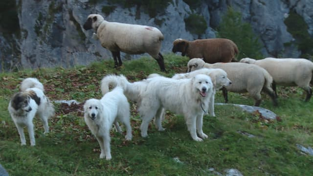 Hunde bewachen Schafe