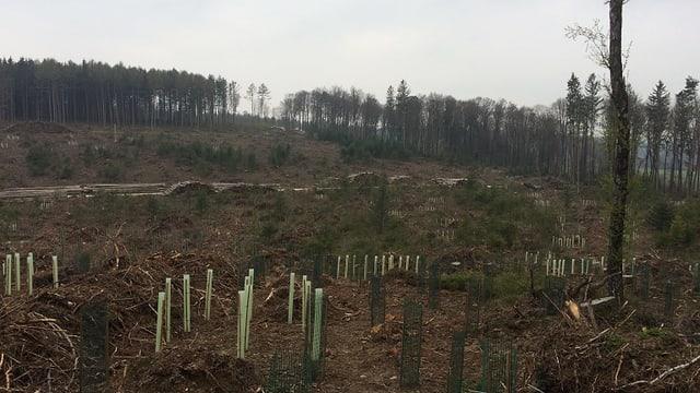 Setzlinge auf einer Fläche, wo der Wald umgeworfen wurde.