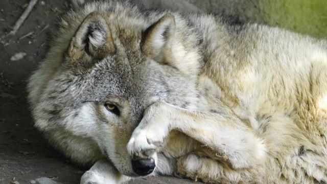 Wolf im Zoo Zürich