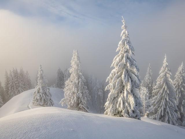 Tief verschneite Landschaft mit Tannen