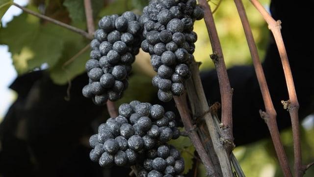 «Der Schweizer Wein profitiert vom Klimawandel» (Artikel enthält Audio)