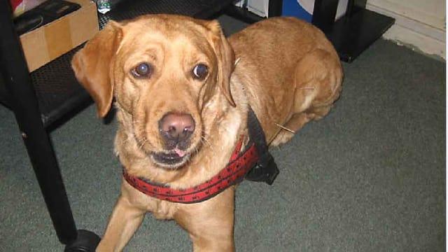 Labrador Kila muss 15 Minuten warten, bis die Nadeln wieder entfernt werden