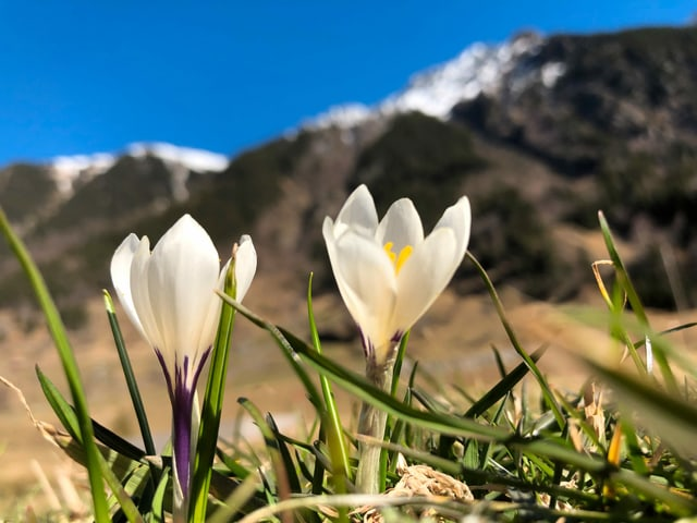 Krokusblüten vor einer Berglandschaft