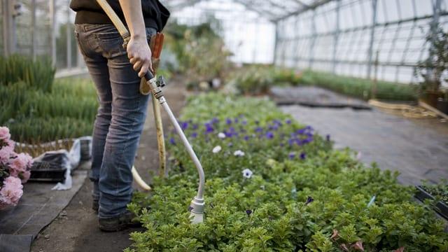 Frau wässert Pflanzen in einem Gewächshaus