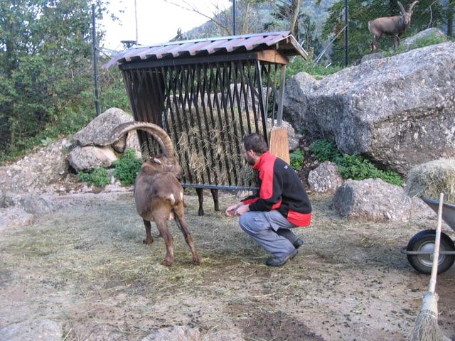 Tierpfleger Peter Schmid mit einem Steinbock vor einer Futterkrippe