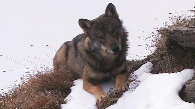 Ein Wolf beobachtet den Fotografen aus sicherer Distanz.